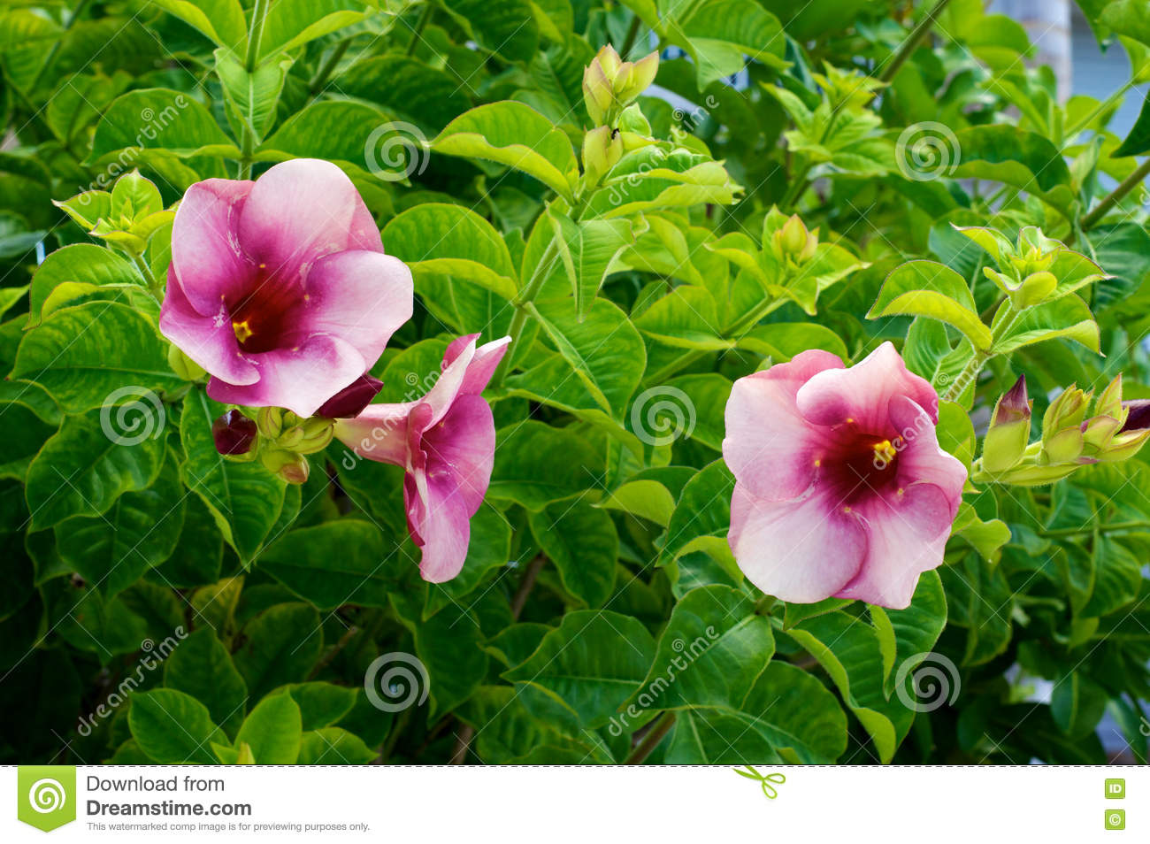 Tropical Pink Trumpet Flowers Stock Image Image Of Trumpet