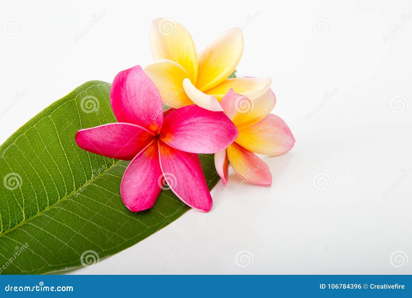 Tropical pink and yellow frangipani flowers on frangipani leaf stock tropical pink and yellow frangipani flowers on frangipani leaf mightylinksfo