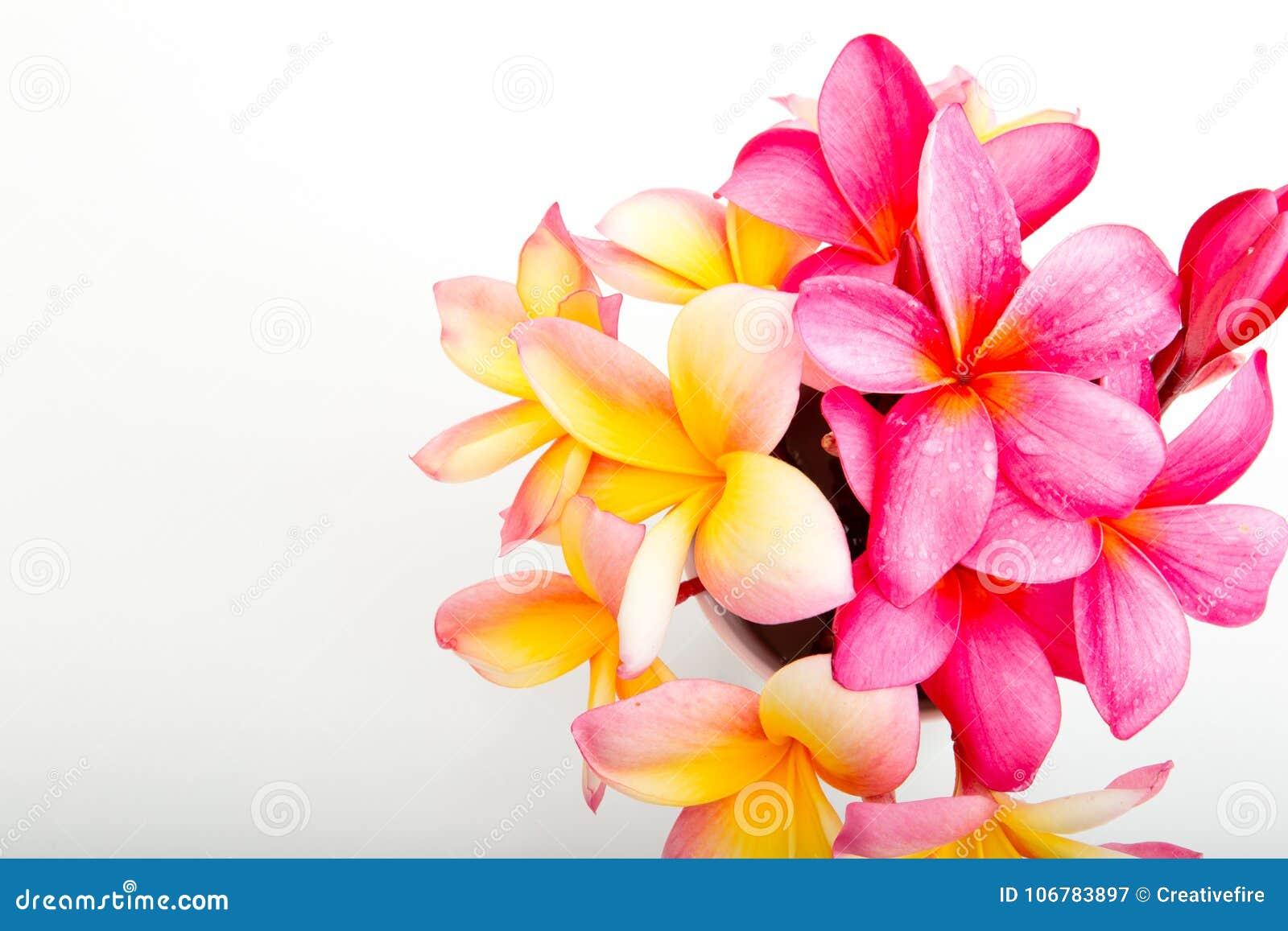 Tropical Pink And Yellow Frangipani Flowers Stock Image Image Of