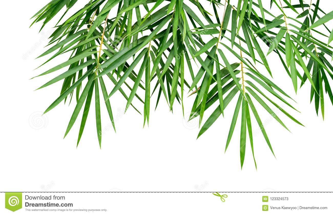 Tropical plant green bamboo leaves isolated on white background, nature backdrop, clipping path