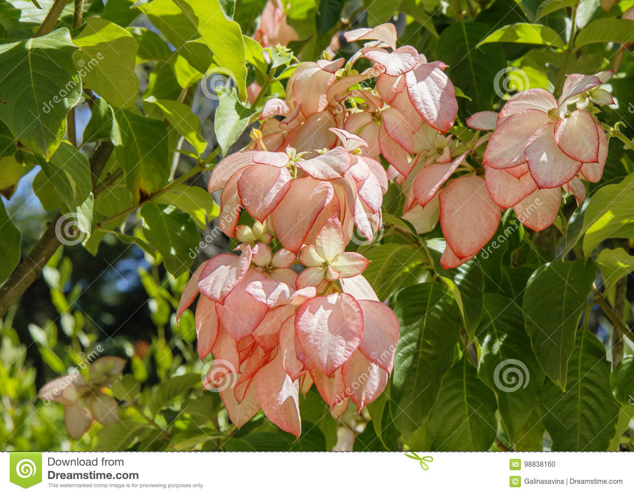 Tropical plant with pink leaves and flowers x28mussaenda x29 download tropical plant with pink leaves and flowers x28mussaenda x29 stock photo mightylinksfo