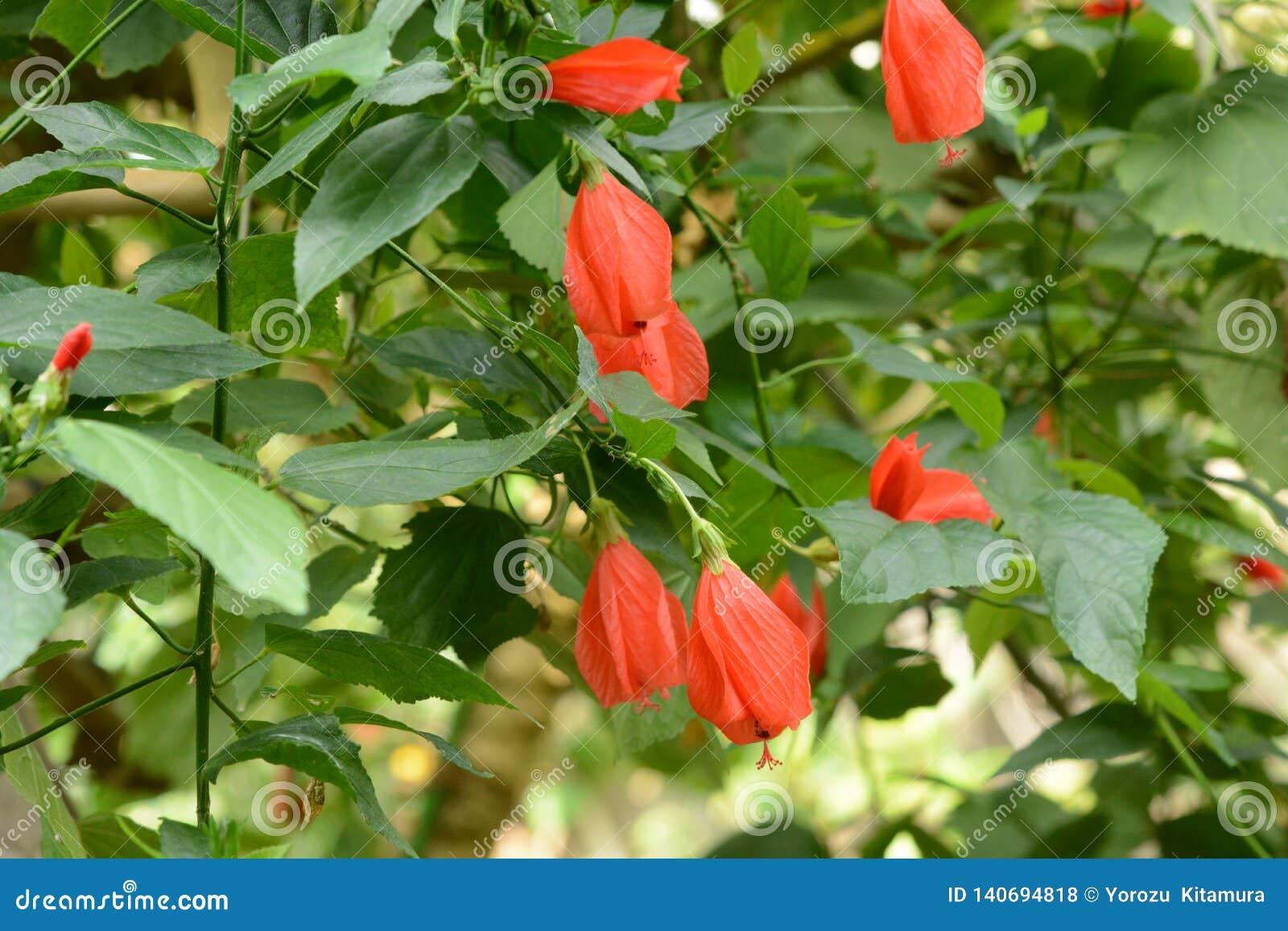 Sleeping Hibiscus Stock Photo Image Of House Petal 140694818