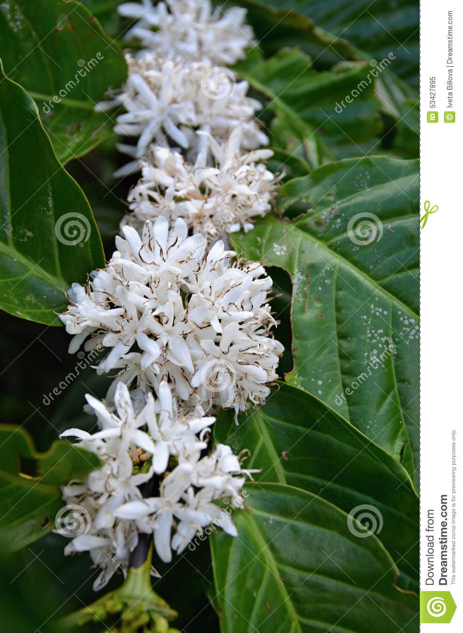 Tropical plant with white flower of coffee cuba stock image download tropical plant with white flower of coffee cuba stock image image of white mightylinksfo