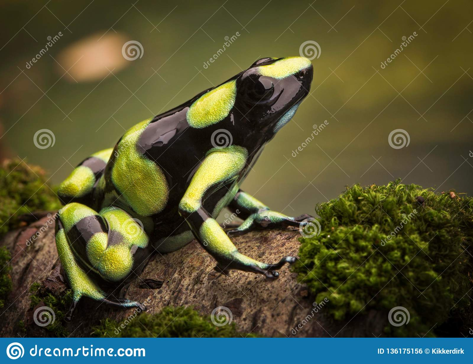 Tropical poison dart frog from the Amazon rain forest in Colombia