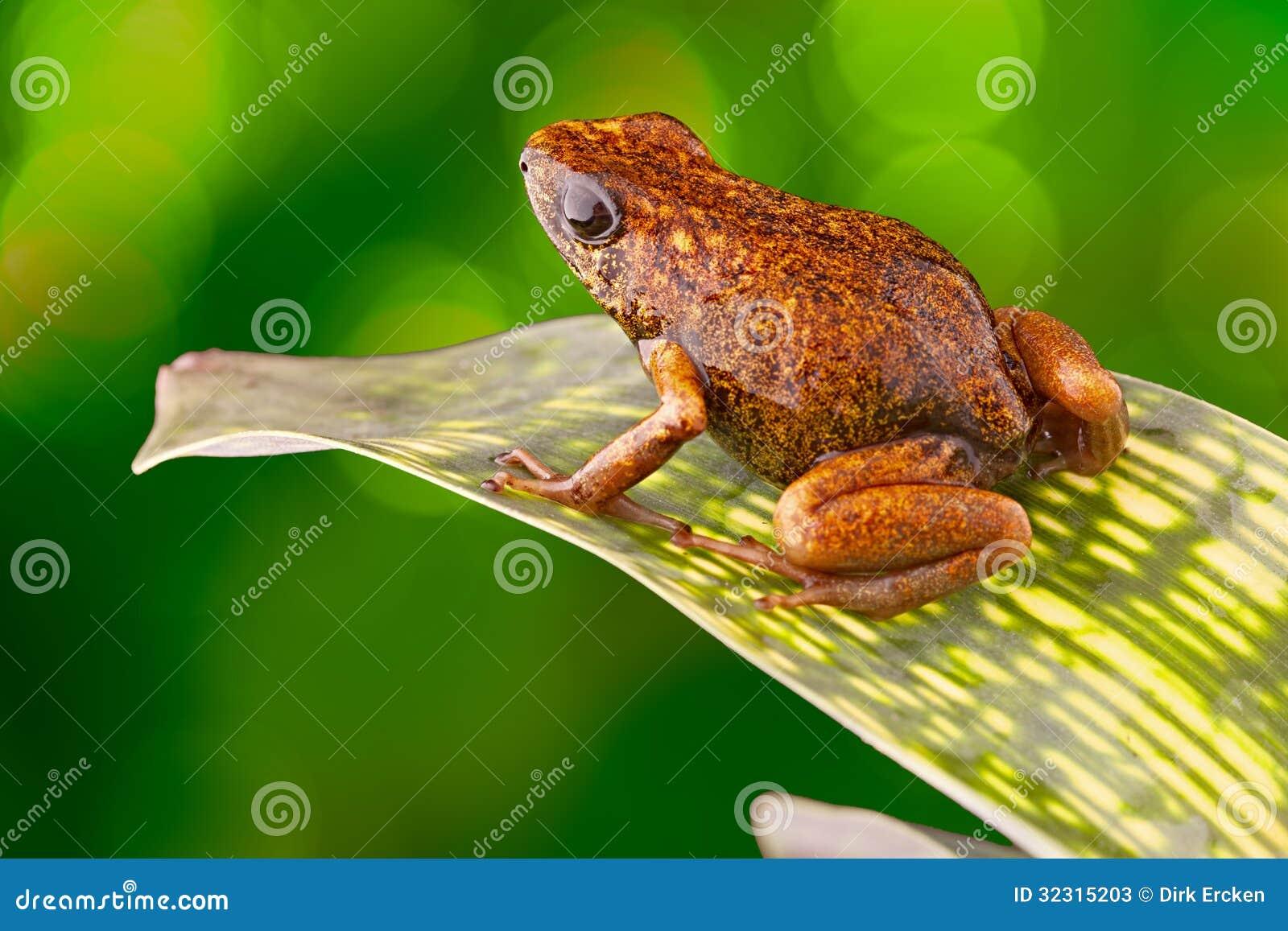 Tropical poison dart frog Ecuador