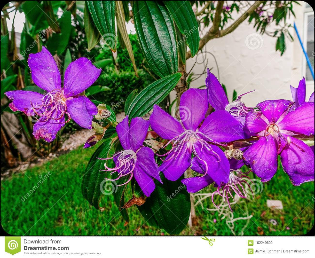 Tropical Purple Flowers In The Yard Stock Photo Image Of