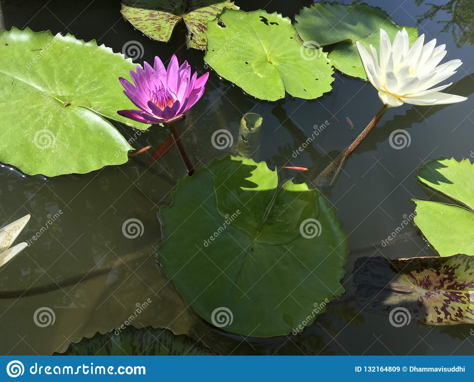 Tropical purple and white water lilies in a pond with tiny orange fishes