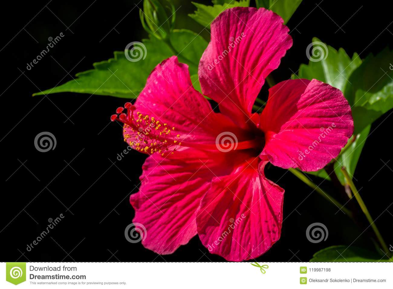Tropical red hibiscus flower with leaves on black background stock tropical red hibiscus flower on black background izmirmasajfo