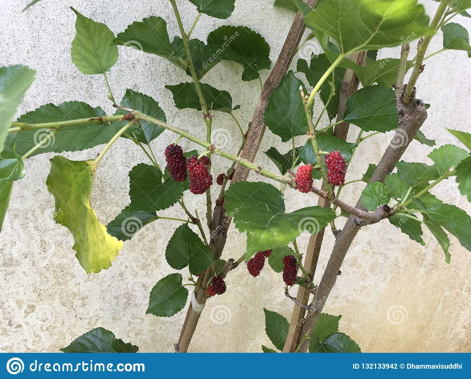 Tropical red mulberry fruits