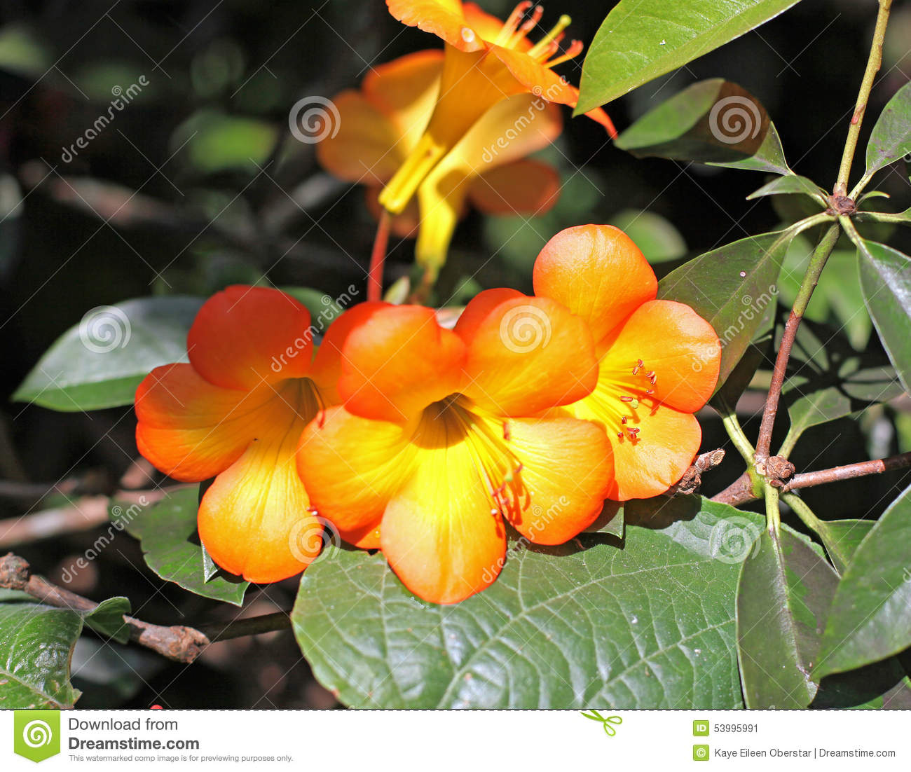 tropical rhododendron stock photo  image, Beautiful flower