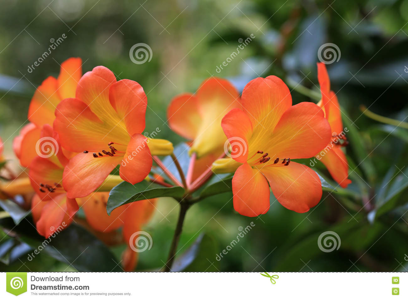 tropical rhododendron flowers stock photo  image, Beautiful flower