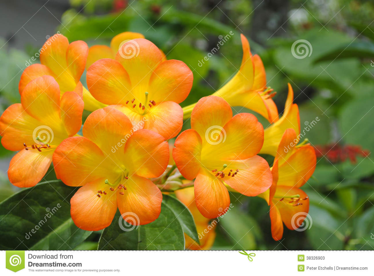 tropical rhododendron simbu sunset stock photos  image, Beautiful flower