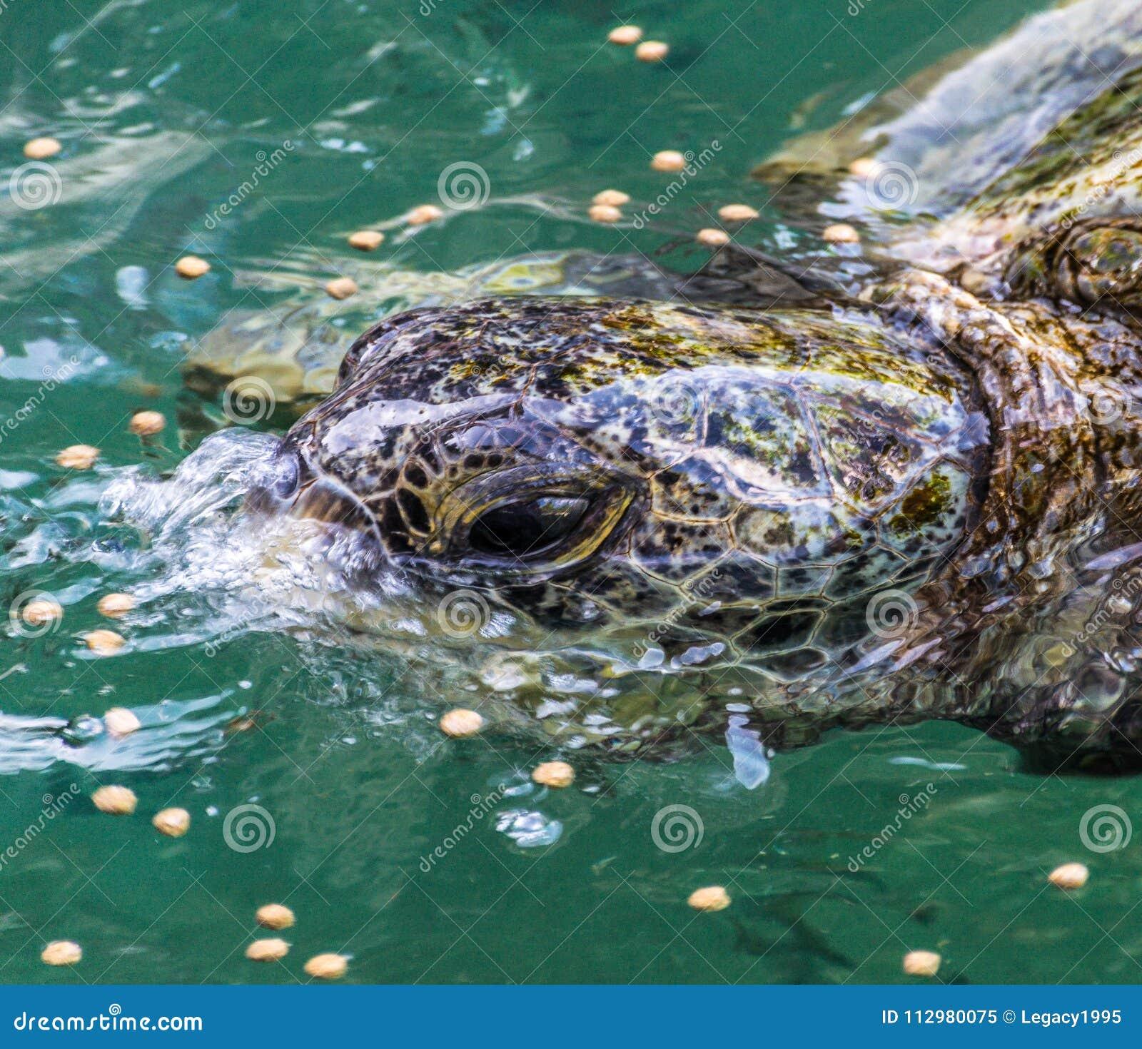 Tropical Sea Turtles Feeding
