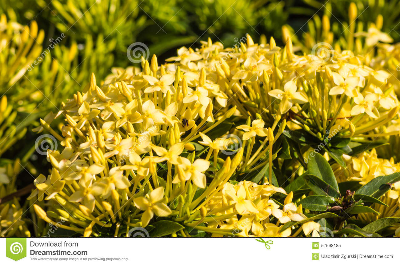 Tropical Shrub With Yellow Flowers Stock Image Image Of Nature