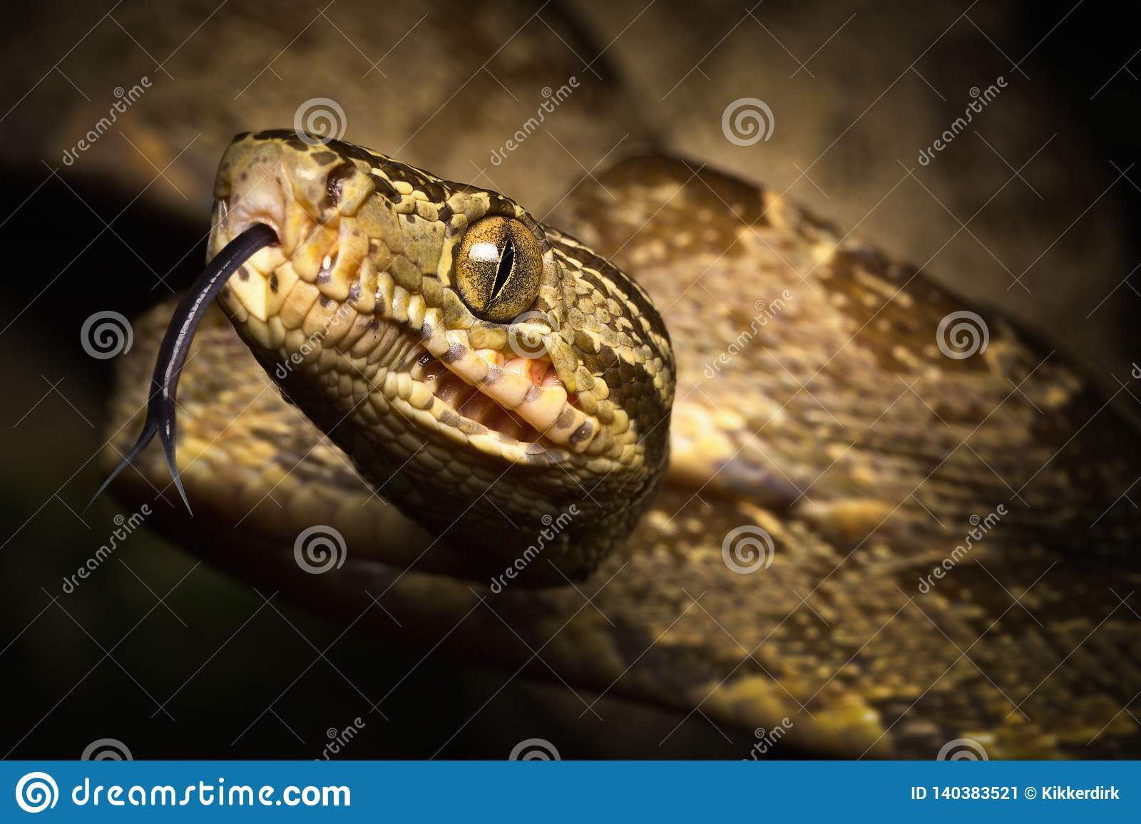 Tropical snake, tree boa Corallus hortulanus a serpent of the Amazon rain forest in Colombia
