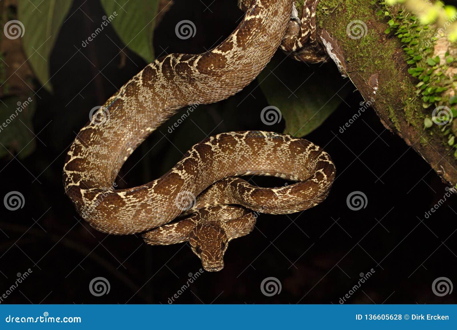 Tropical snake, tree boa Corallus hortulanus