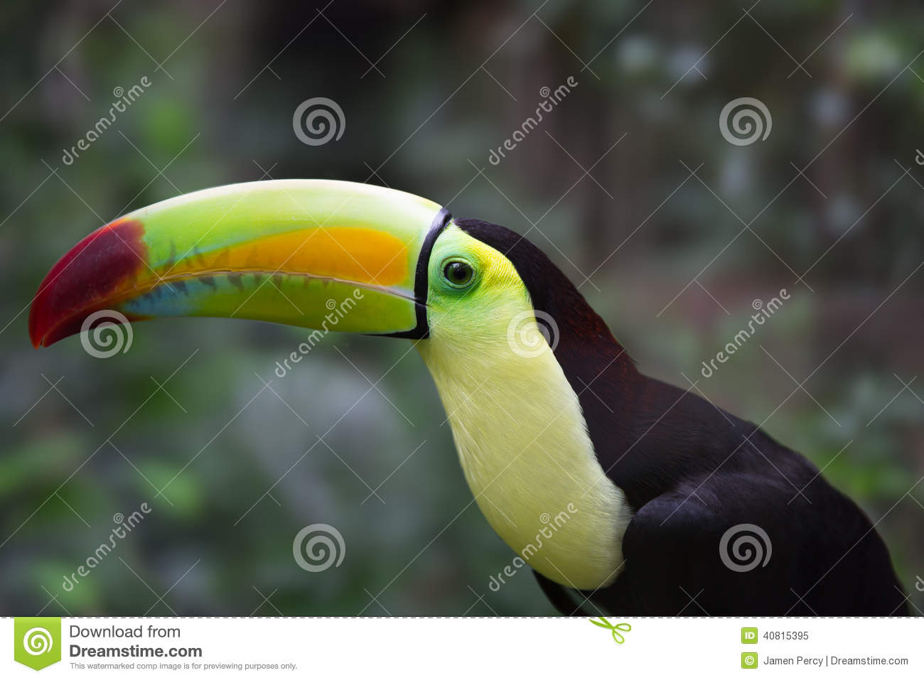 Tropical Toucan In Belize Jungle Stock Photo Image 40815395