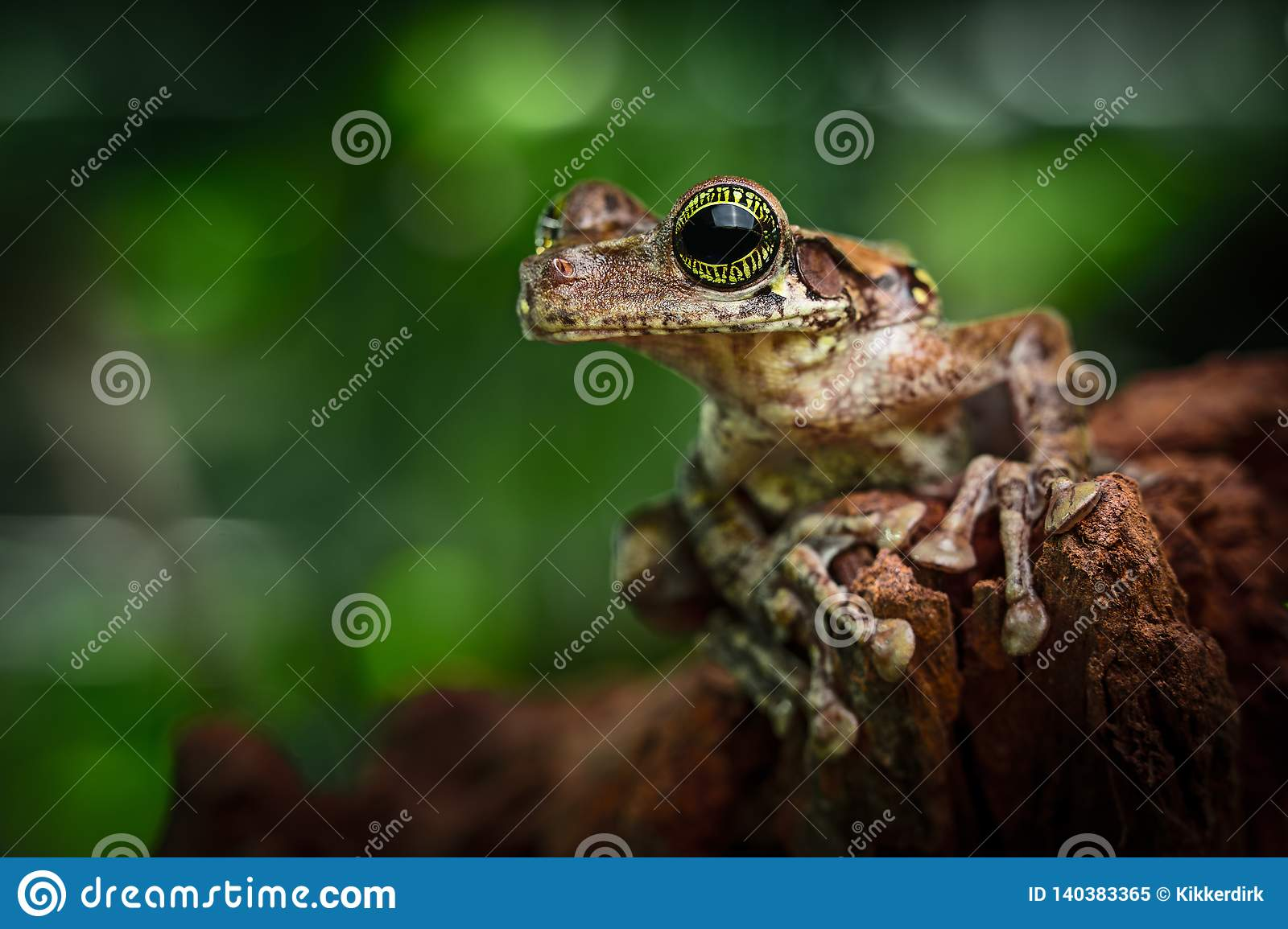 Tree frog Amazon rain forest, tropical exotic treefrog Osteocephalus taurinus