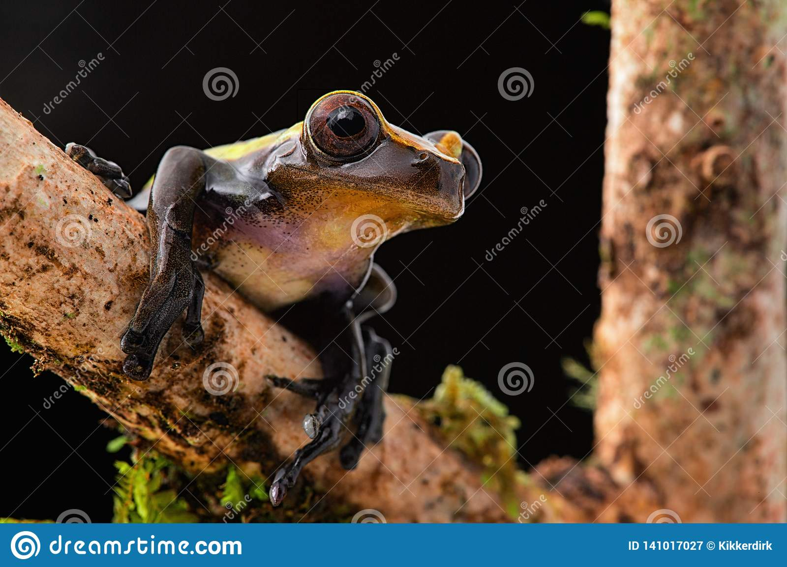 Tropical tree frog on branch at night in Amazon rain forest