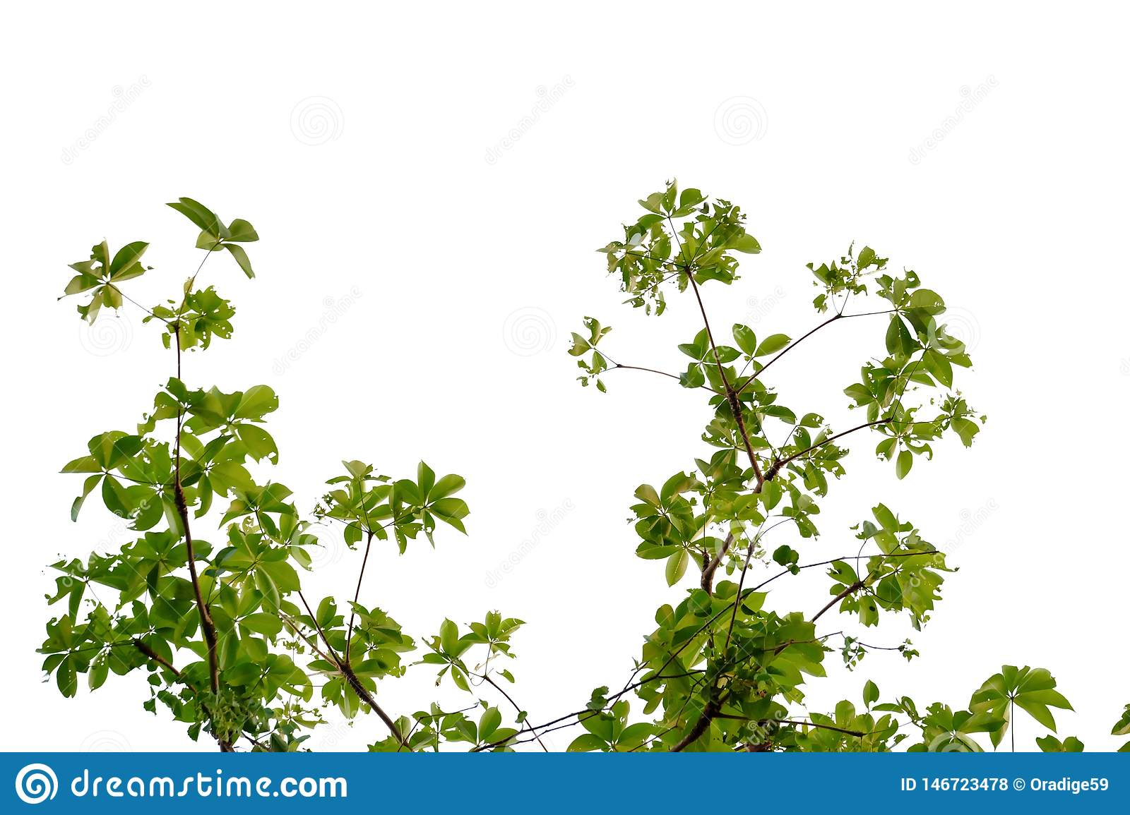 Tropical tree leaves with branches on white isolated background for green foliage backdrop