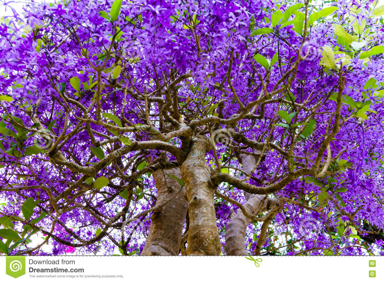 Tropical Tree With Purple Flowers Stock Image