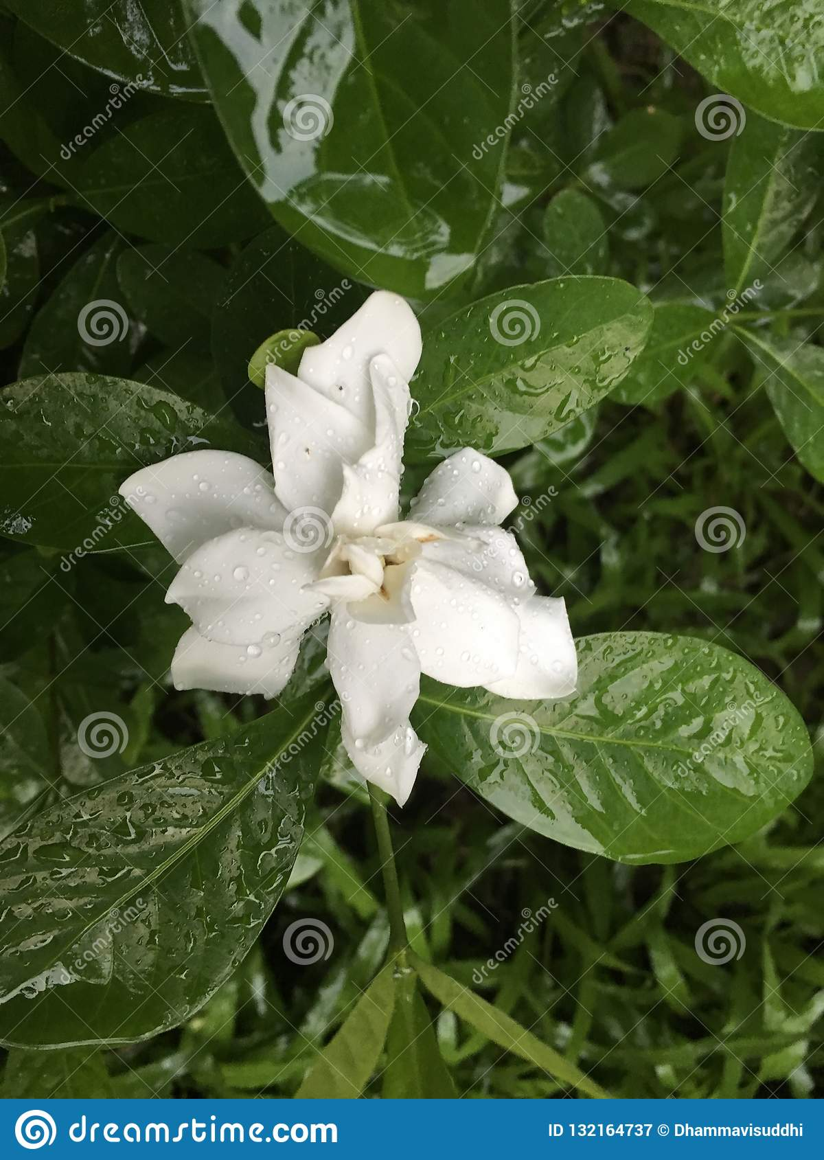 Tropical white Cape Jasmine flower after the rain