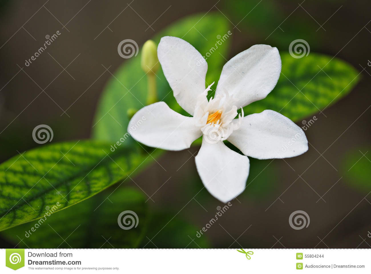 Tropical White Flower With Yellow Center Stock Photo Image Of