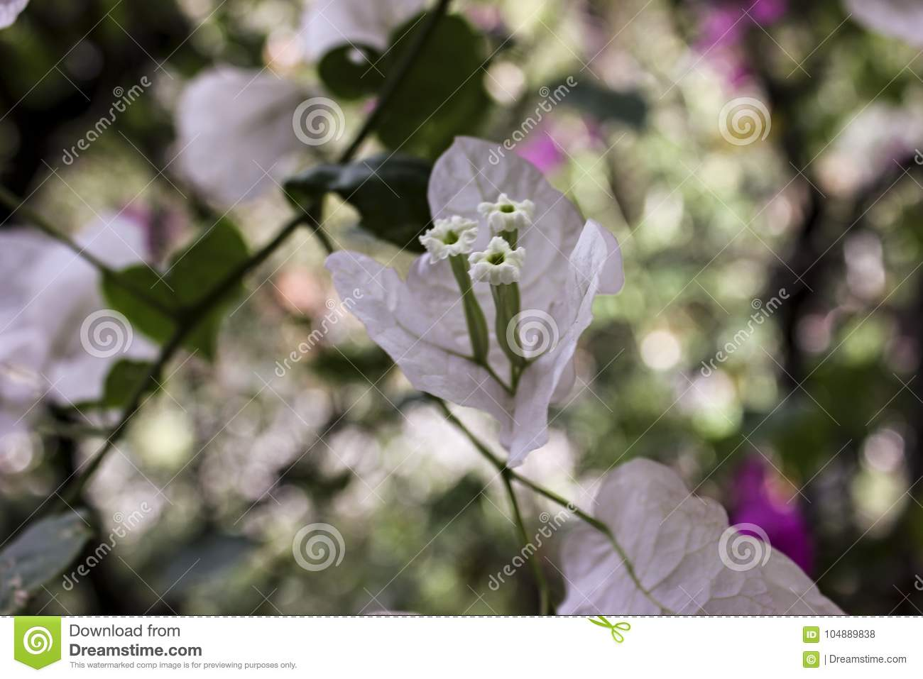 Tropical white flowers in venezuela stock photo image of ornamets tropical white flowers in venezuela mightylinksfo