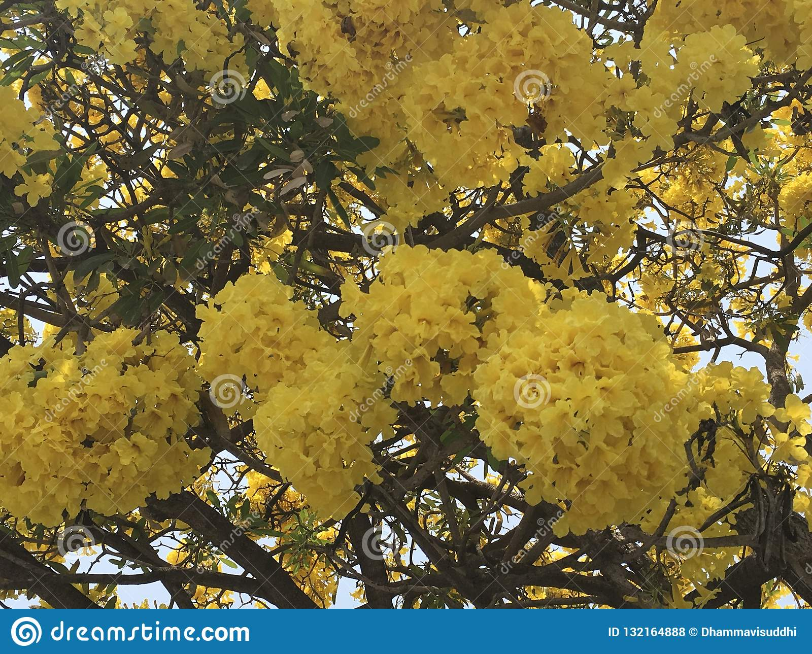 Tropical yellow cotton flower or butter cup tree flower Cochlospermum religiosum on sunny day