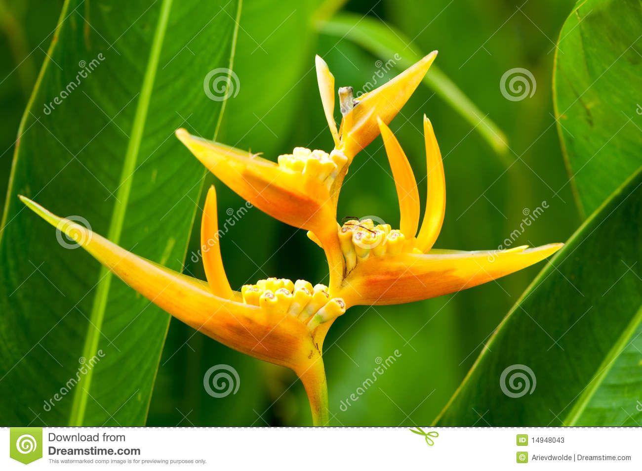 Tropical Yellow Flowers Stock Image Image Of Flora Leaf 14948043