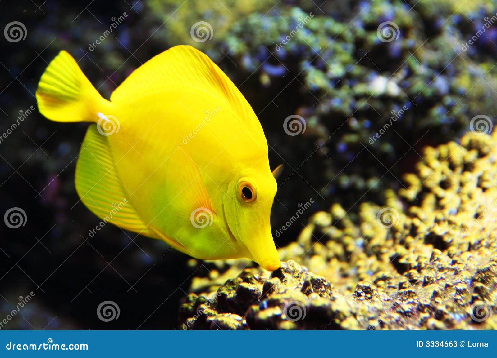 Tropical yellow tang aquarium fish stock image image of for Dreaming of fish
