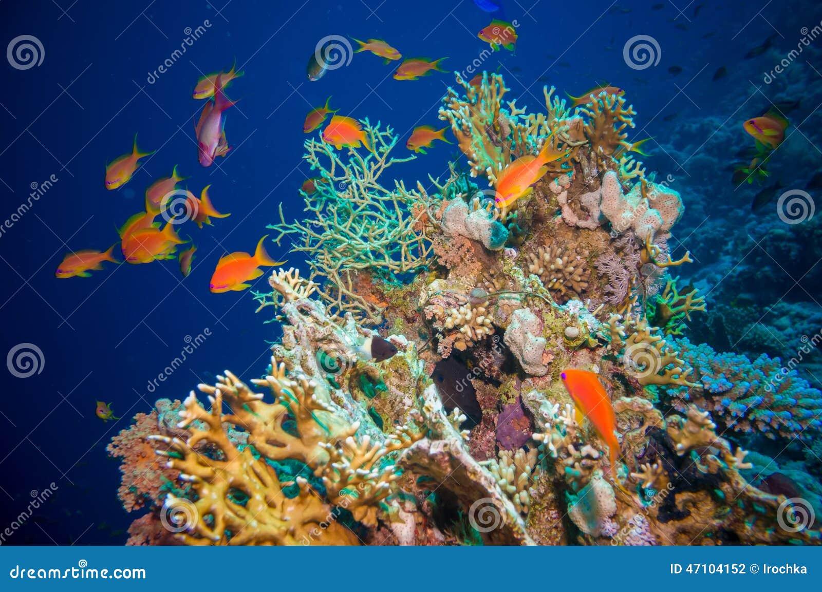 Tropikalna Anthias ryba z sieć ogienia koralami