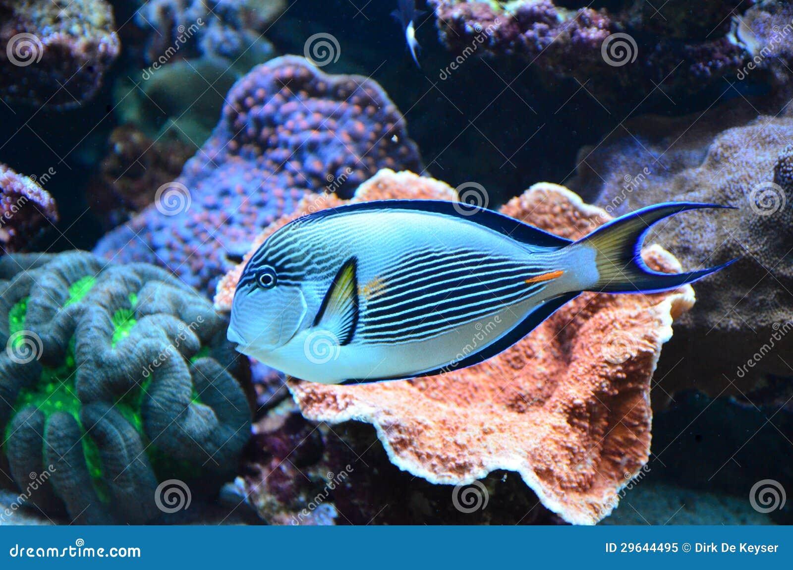 Tropikalna rafy koralowa ryba