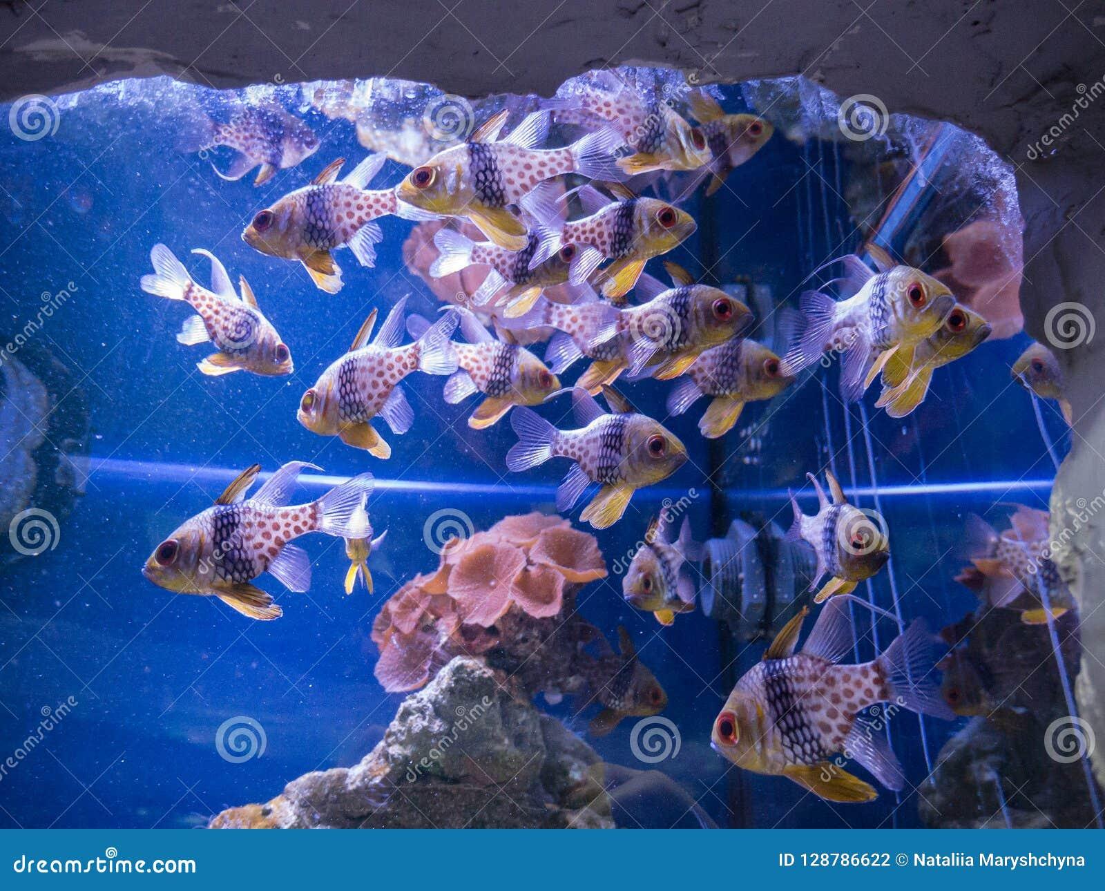 Tropikalna ryba pływa w akwarium w Kijów