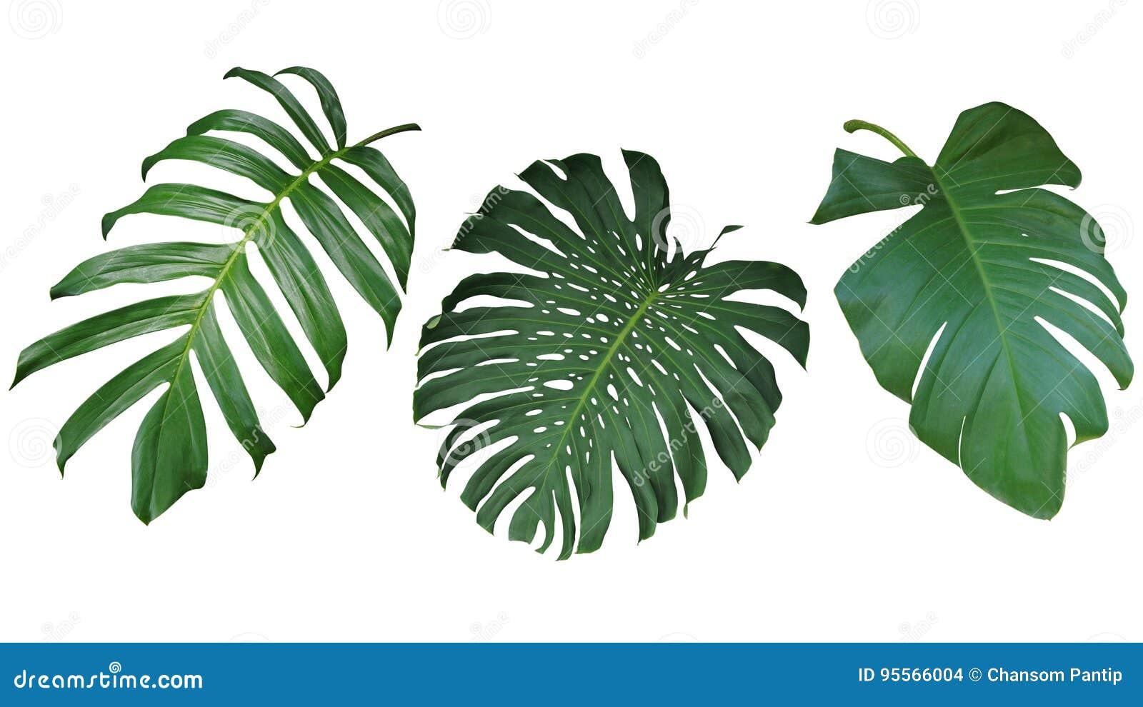 Tropikalni liście ustawiają odosobnionego na białym tle, ścinek ścieżka