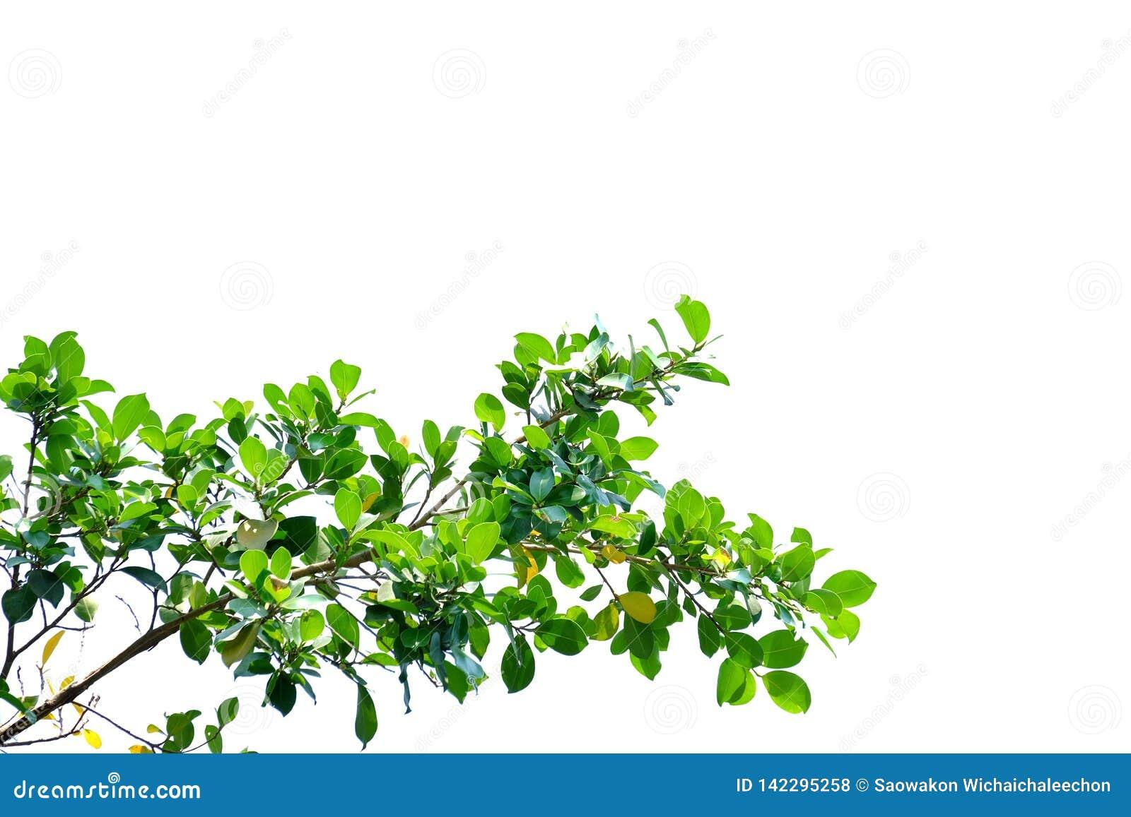 Tropikalny drzewo opuszcza z gałąź na białym odosobnionym tle dla zielonego ulistnienia tła