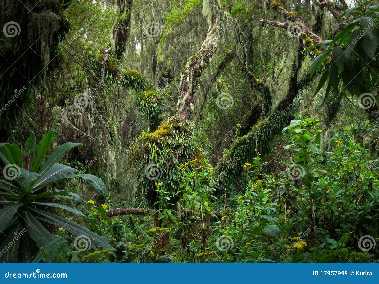 Tropikalny las deszczowy Rwanda drzewo tropikalny