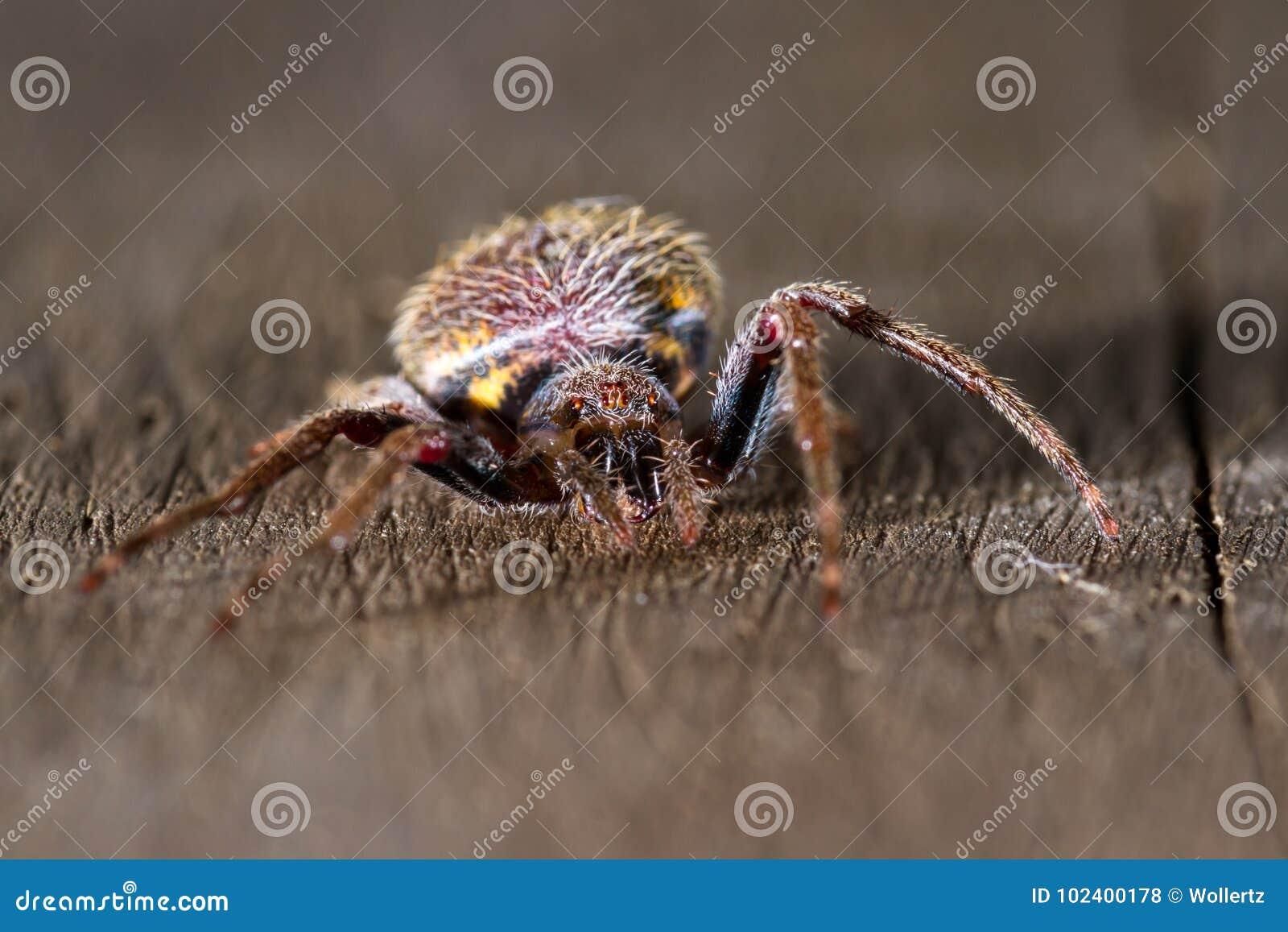 Tropikalny pająka zakończenie up