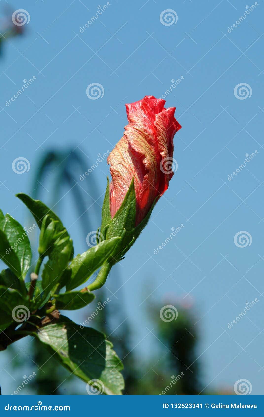 Tropikalny poślubnika kwiat z zielonymi liśćmi