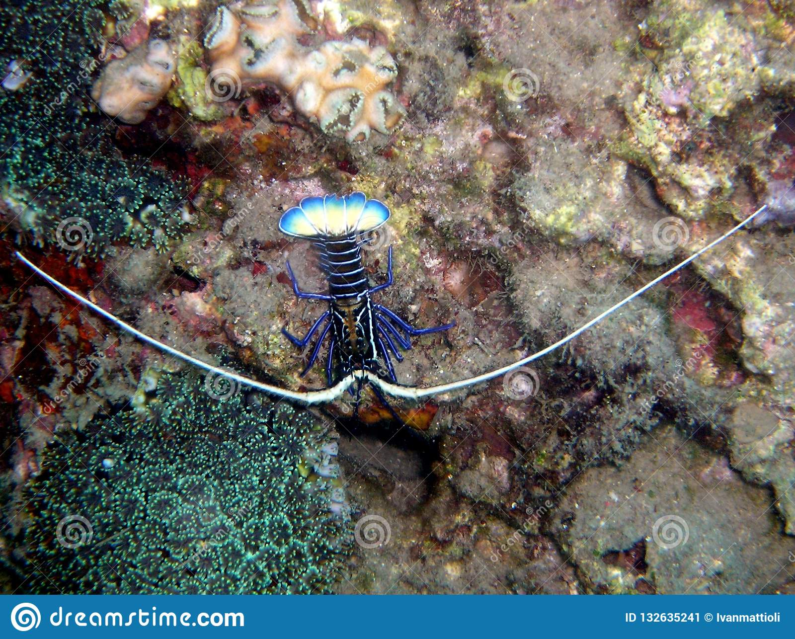 Tropikalny rockowego homara Panulirus ornatus