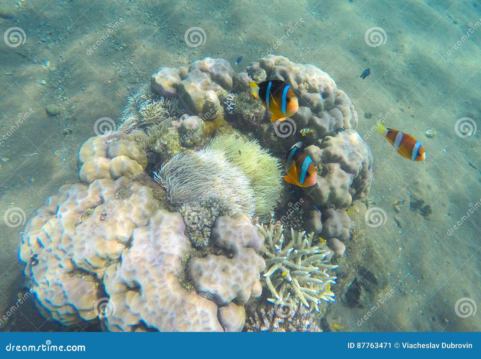 Tropikalny rybi błazen blisko rafy koralowa i aktynów Clownfish w aktynach