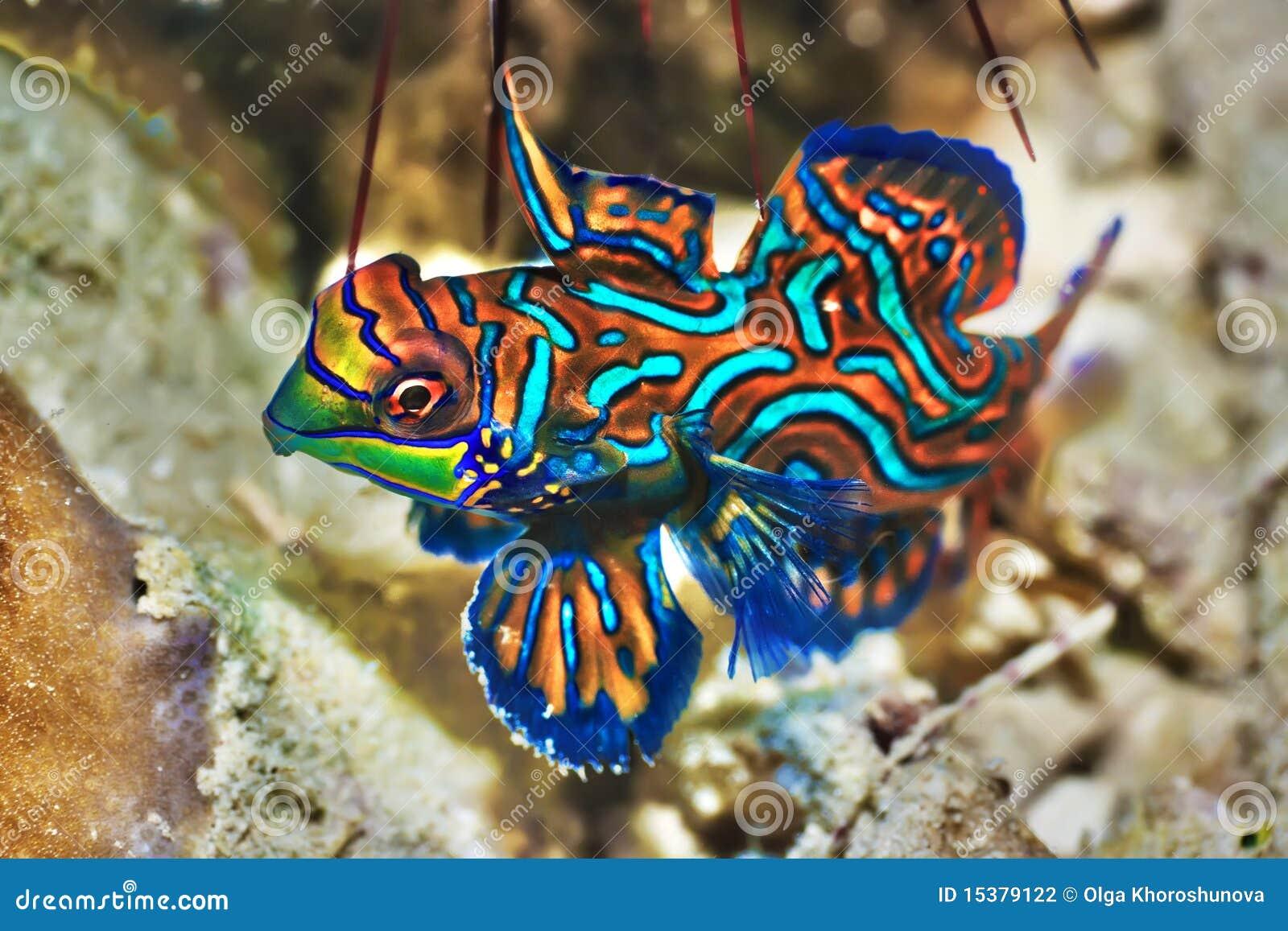 Tropikalny rybi mandarinfish