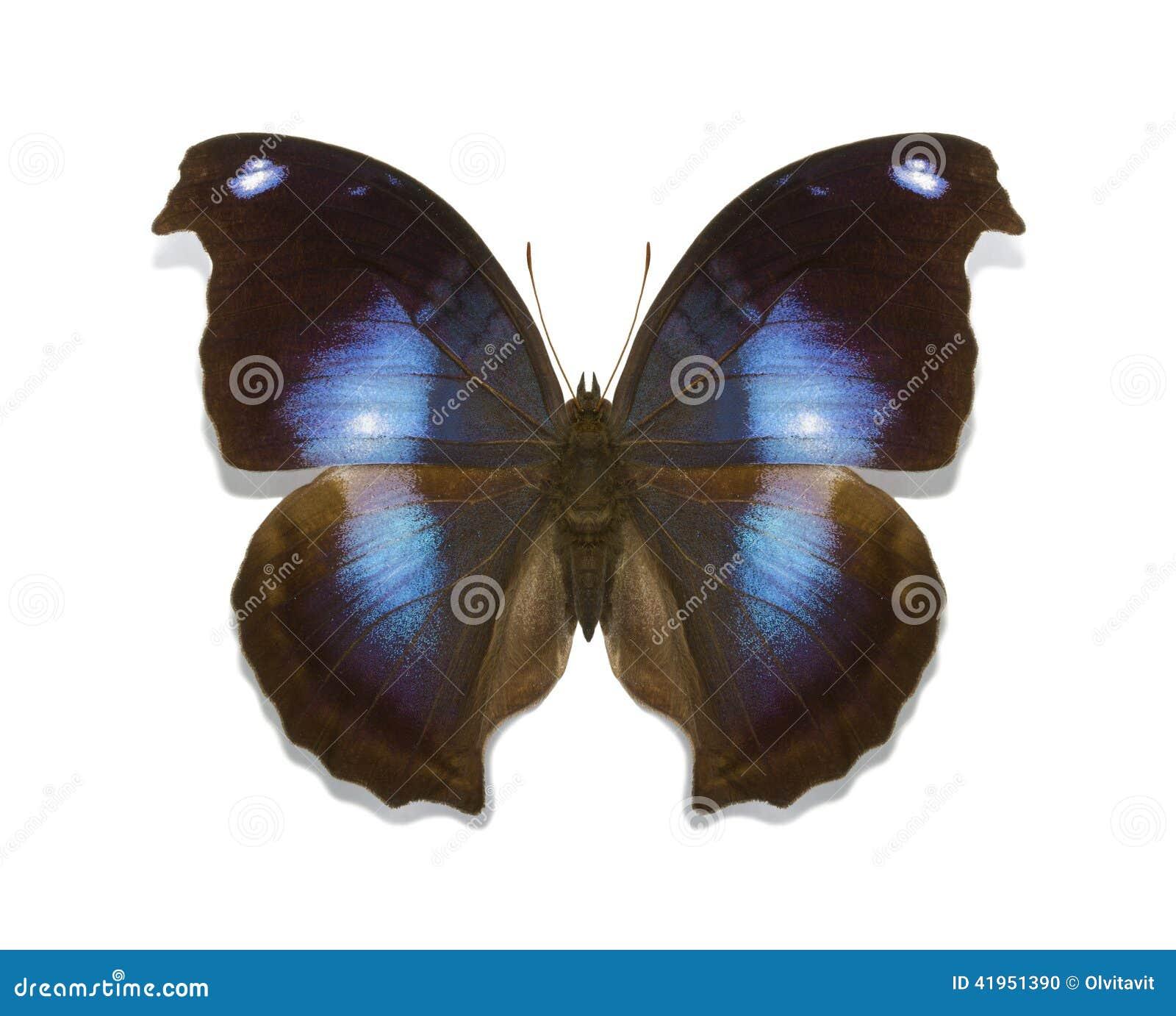 Tropikalnych motyli Napeocles inkasowy jucunda