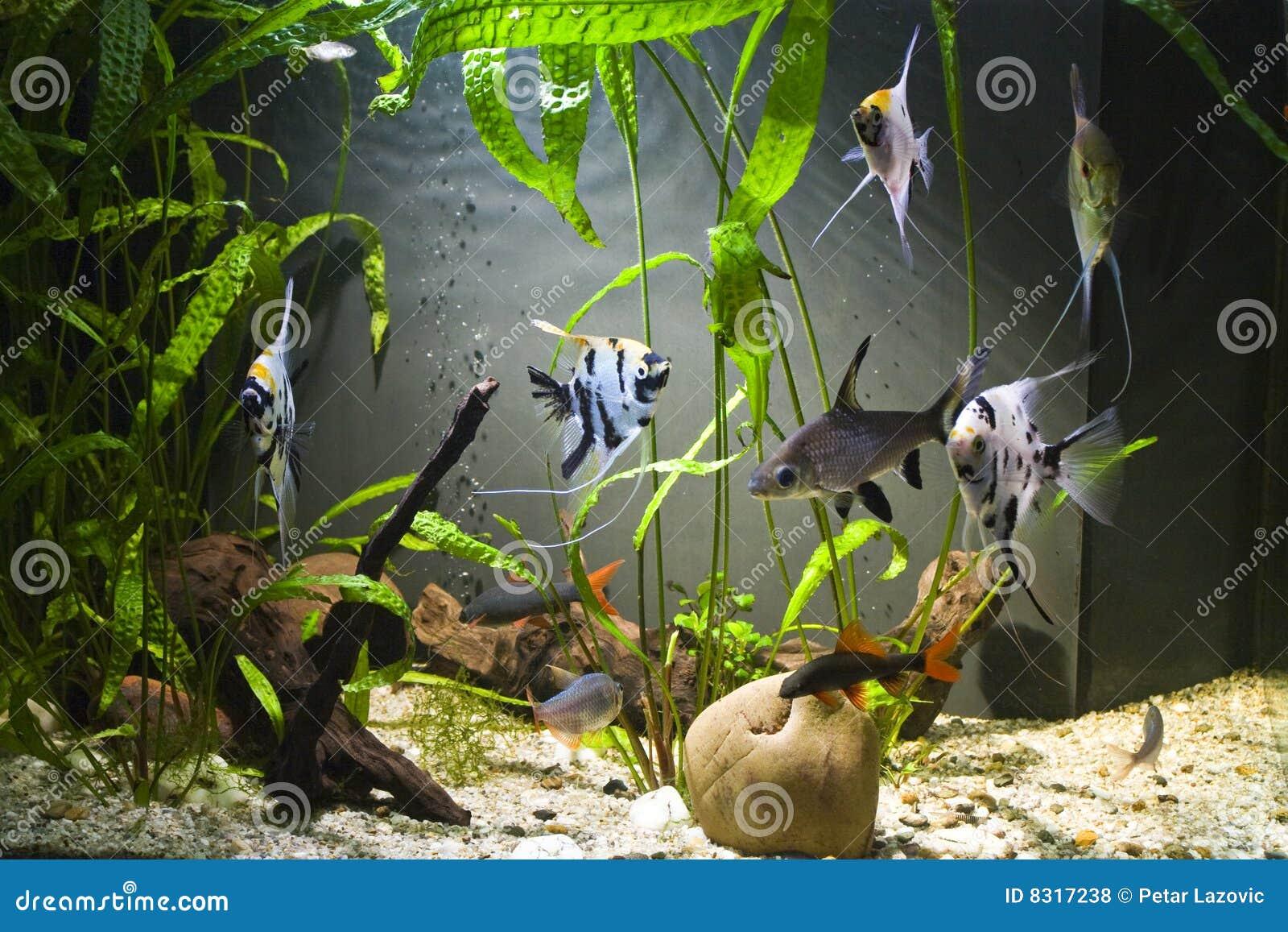 Tropisch ZoetwaterAquarium Royalty vrije Stock Foto u0026#39;s   Beeld  8317238