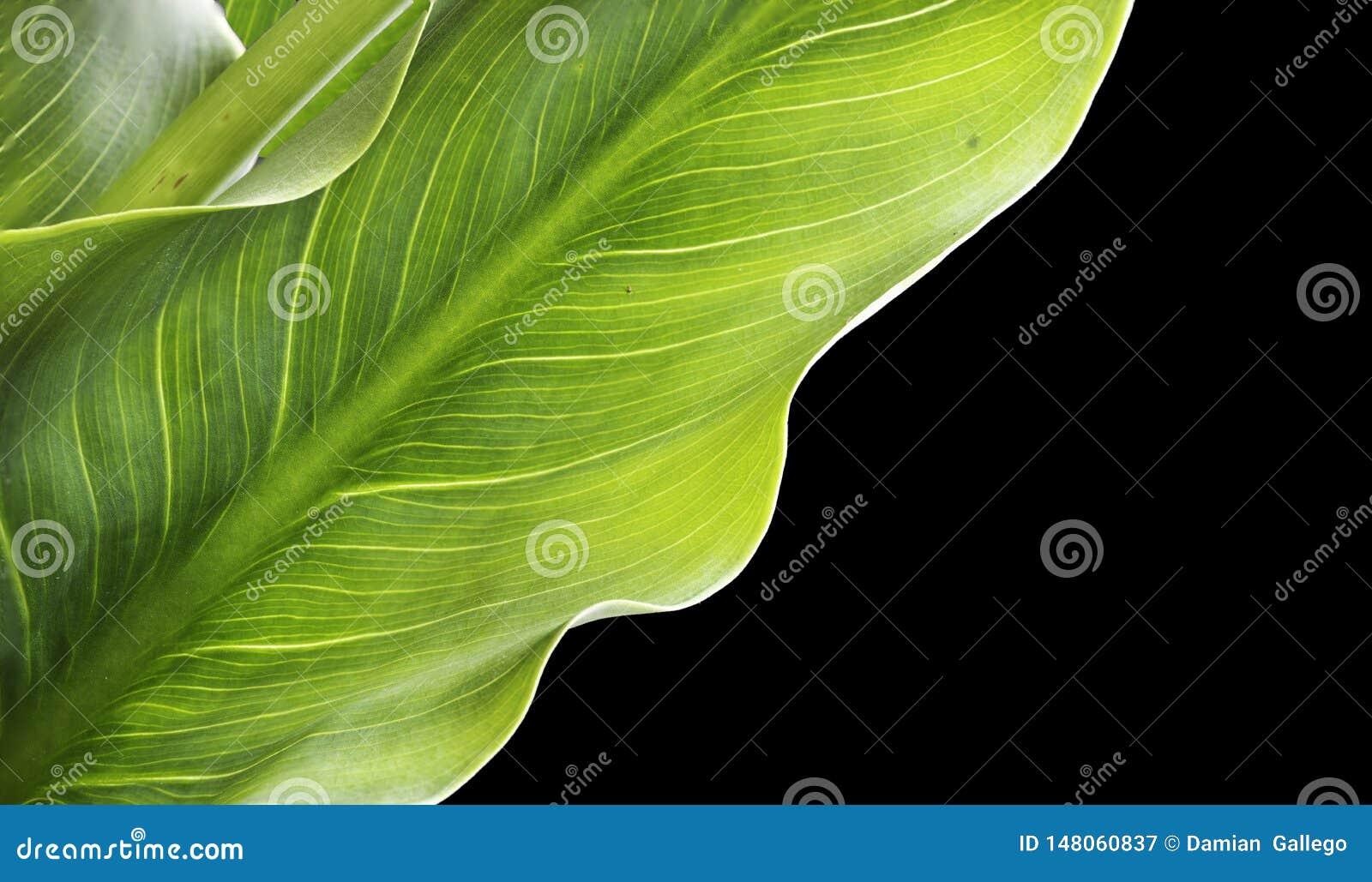 Tropische bladerencalla Lelies of Zantedeschia-aethiopica op zwarte achtergrond