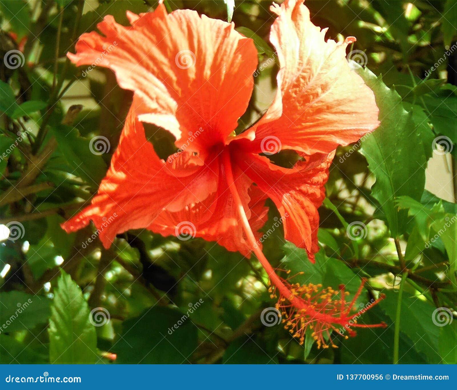 Tropische Blume in der Dominikanischen Republik