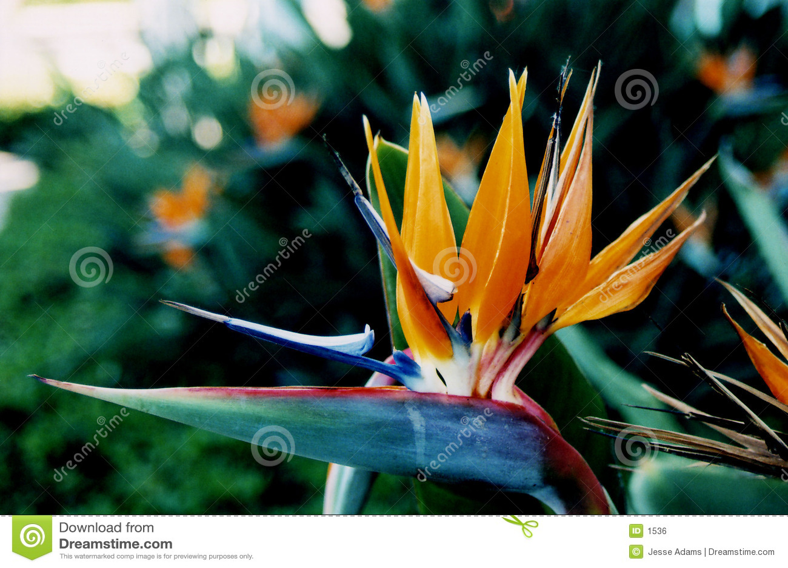 Tropische Blume: Paradiesvogel