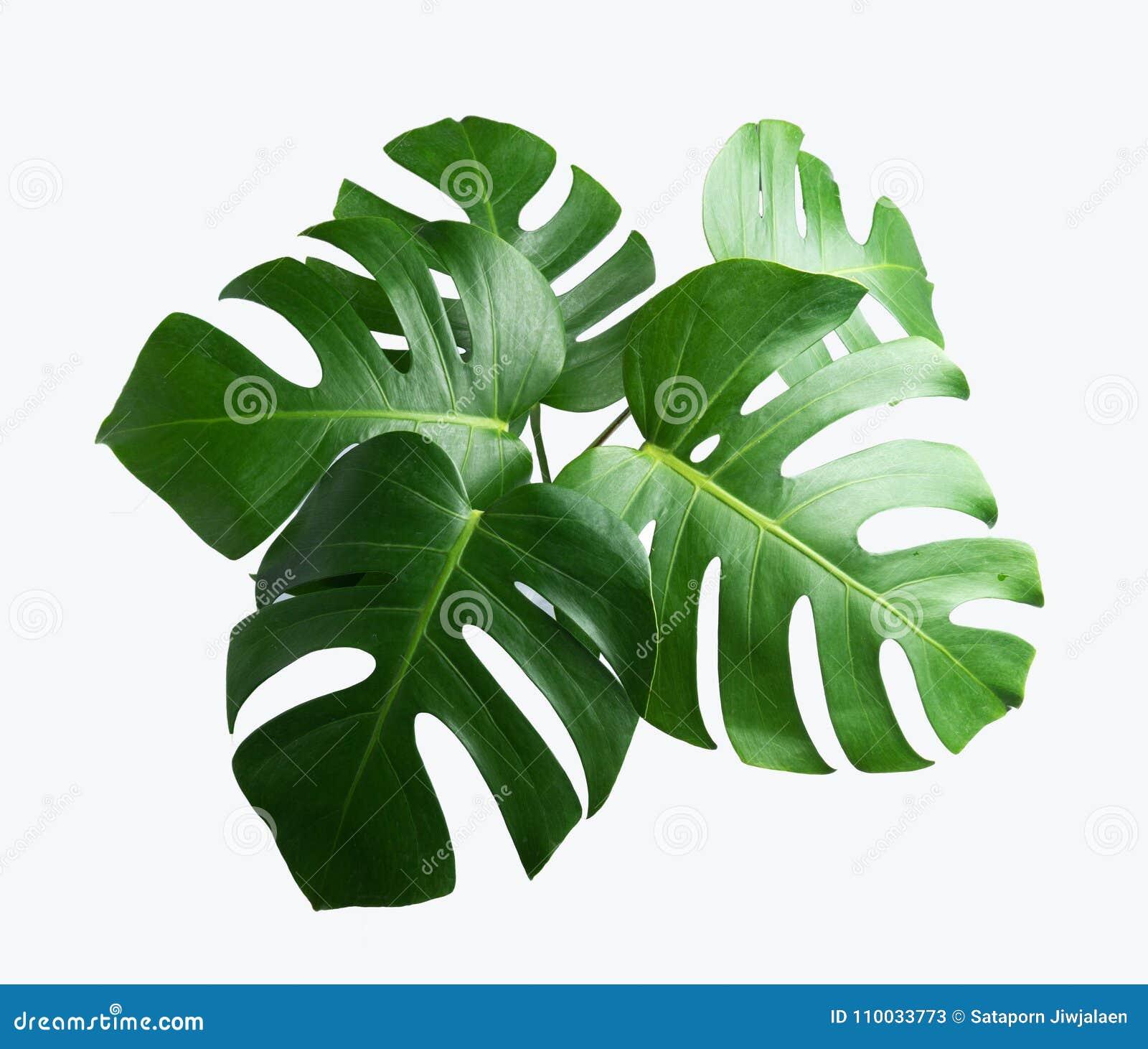 Tropische botanische bladerenachtergronden op wit