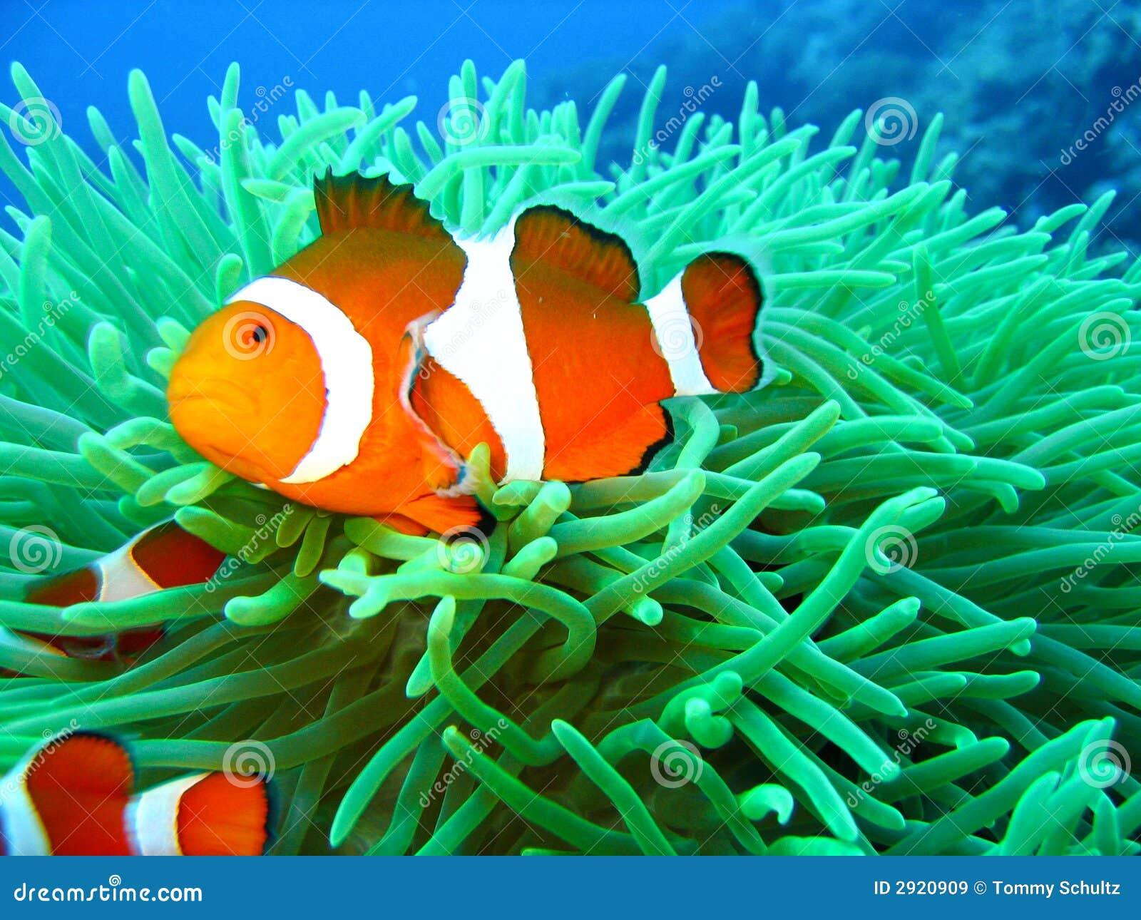 Tropische het vinden de vissenfoto van de nemoclown van een avontuur ...