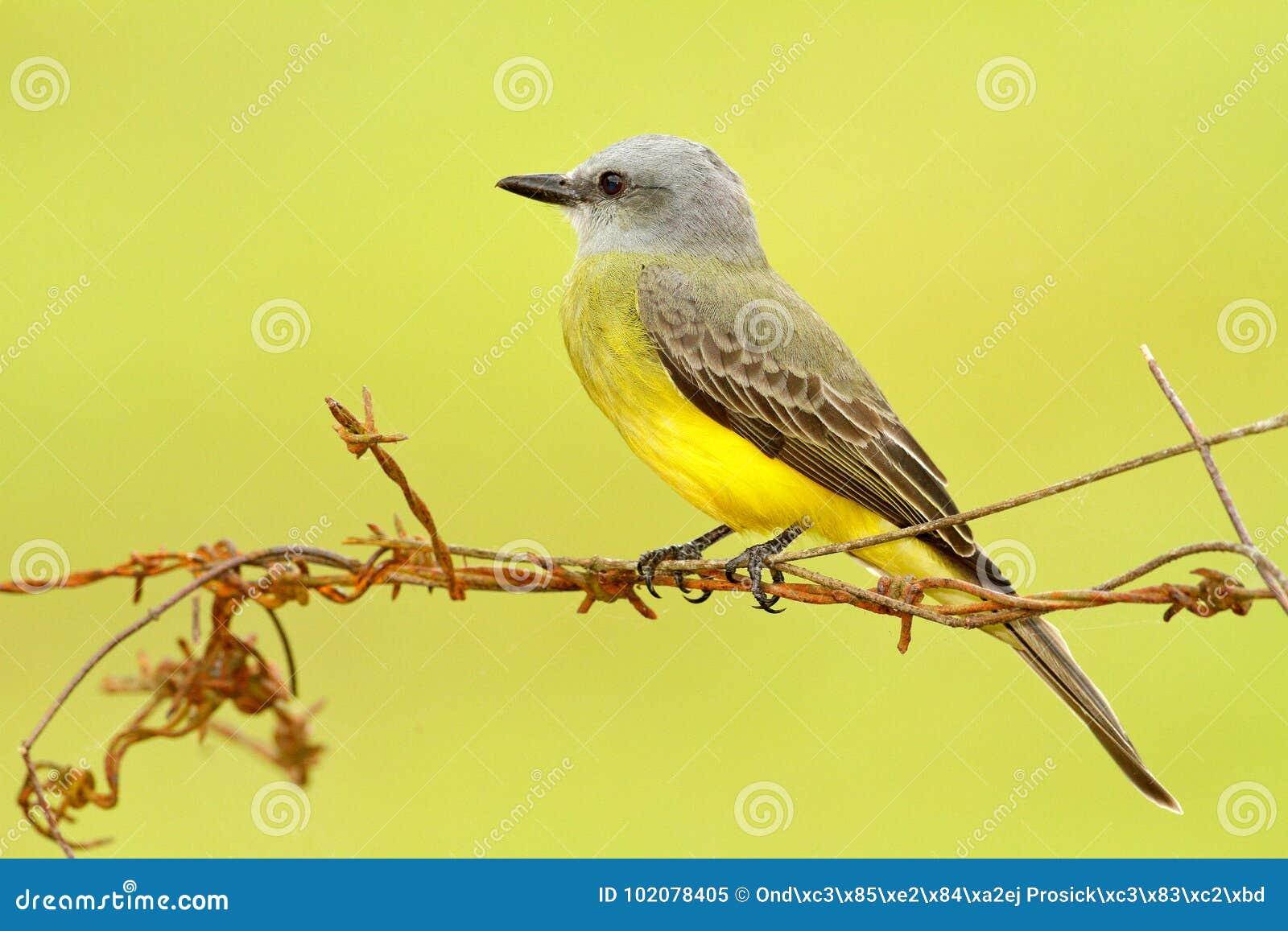 Tropische Kingbird, Tyrannus-melancholicus, tropische gele grijze vogelvorm Costa Rica Vogelzitting op prikkeldraad, duidelijke a